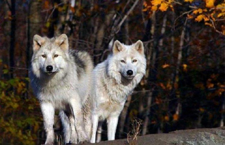 Дві зграї вовків нападають на погребищан