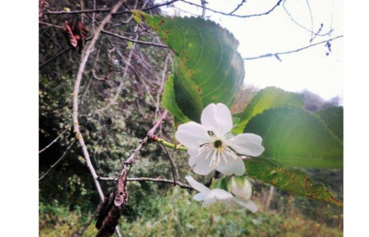 На Полтавщині зацвіли вишні