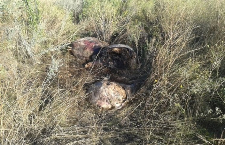 АЧС шириться Миколаївщиною: на Баштанщині знайшли труп свині з підозрою на чуму