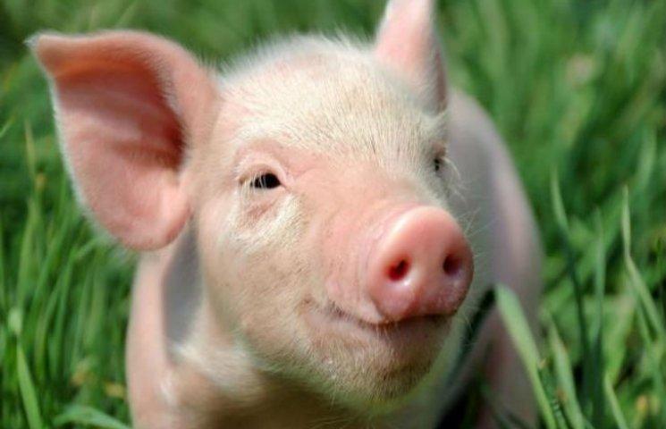 Розповсюдження африканської чуми свиней - диверсія, Міністерство економіки