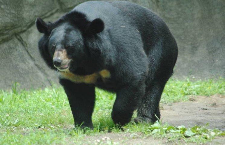 Однією лівою: Як японський рибалка бився з гімалайським ведмедем