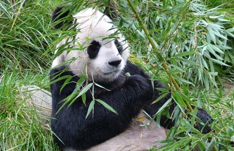 Велика панда перестала бути вимираючим видом