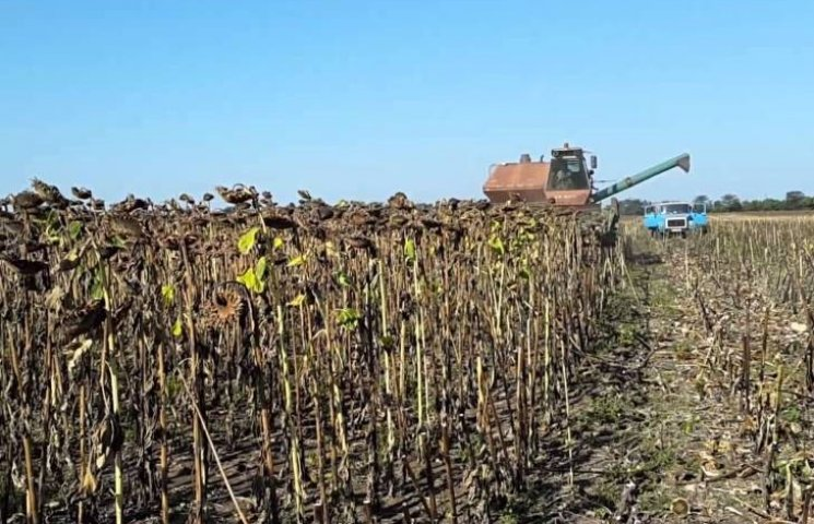 Очільник Миколаївської поліції так і не врятував 15 га соняшнику на Первомайщині