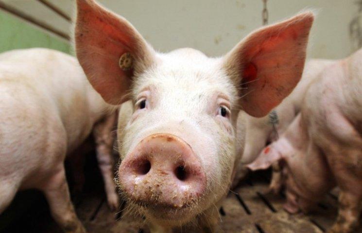 На николаевском предприятии через чуму убили более 7 тысяч свиней