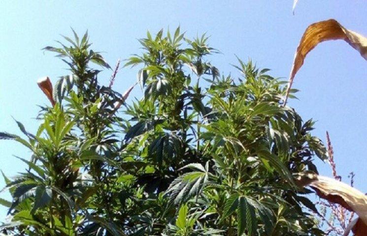 На Хмельниччині поліція виявила посіви коноплі у кукурудзі