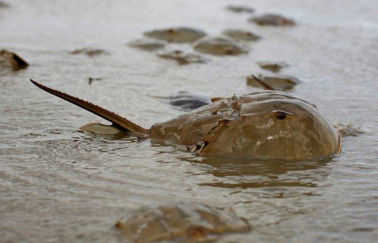 В Японии умирают членистоногие, которые не видоизменялись 450 миллионов лет
