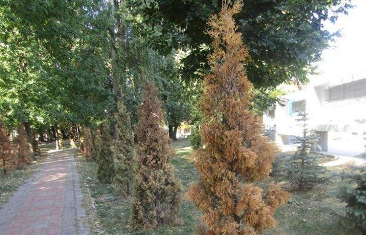 У Козятині пожовкли вічнозелені туї, на які витратили 300 тисяч з бюджету