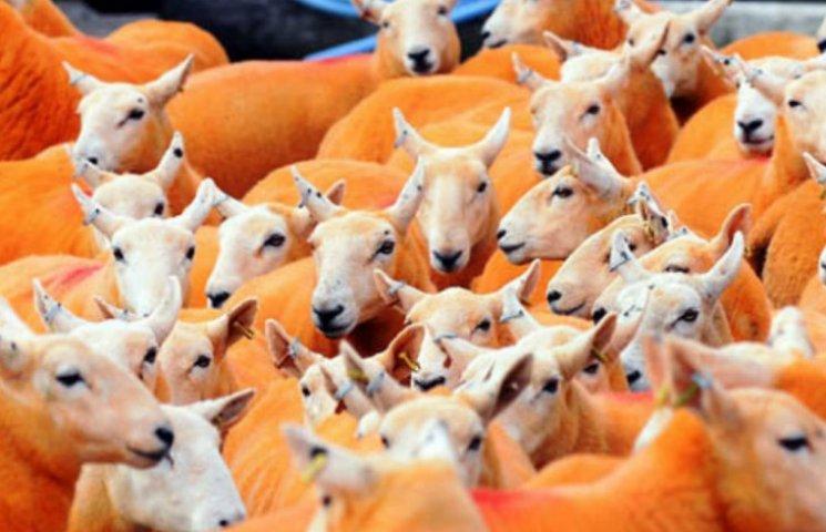 Фермер в Британии выкрасил в оранжевый 800 овец (ФОТО)