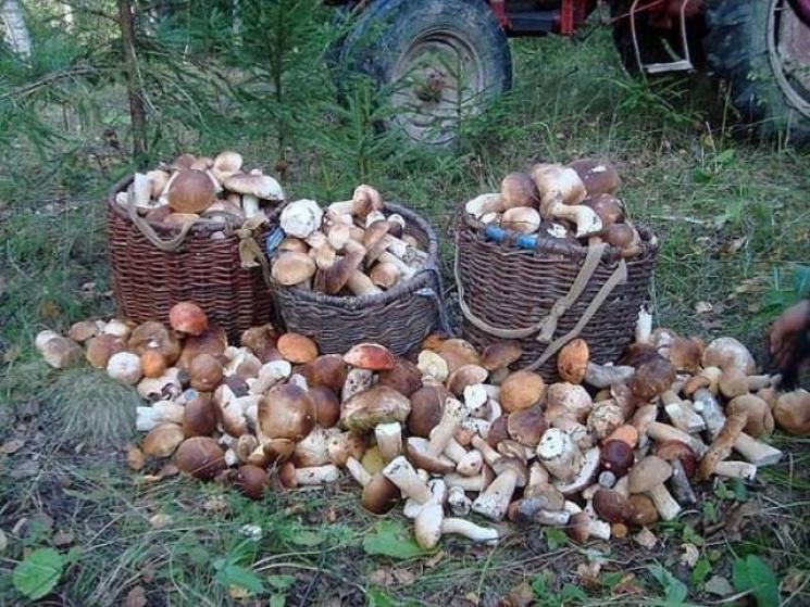 Ровенщина кишит белыми грибами (ФОТО)…