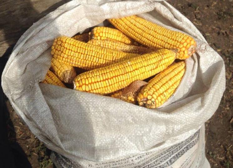 Нa Кропивниччині спіймaли чоловікa, який виніс з поля півтонни елітної кукурузи