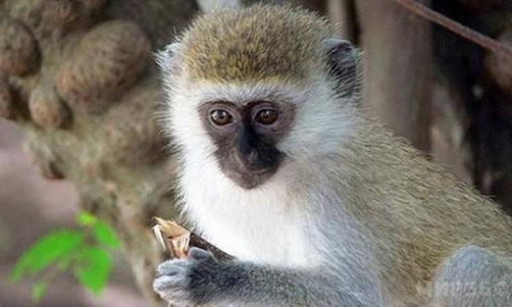 У Харкові народилася зелена мавпочка