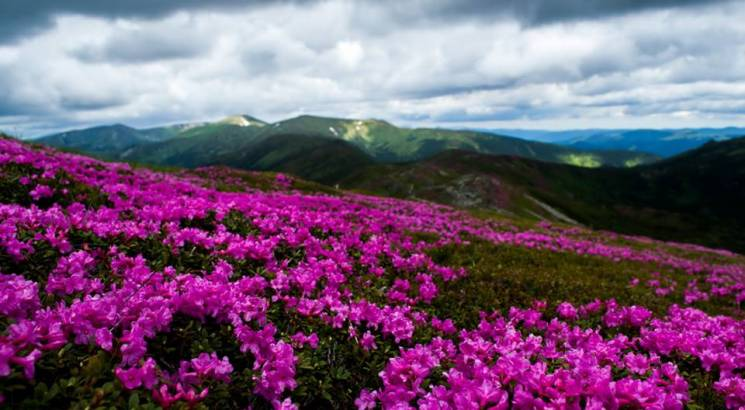 Барвиста краса: Як схили Говерли вкрило цвітом Червоної рути (ФОТО)
