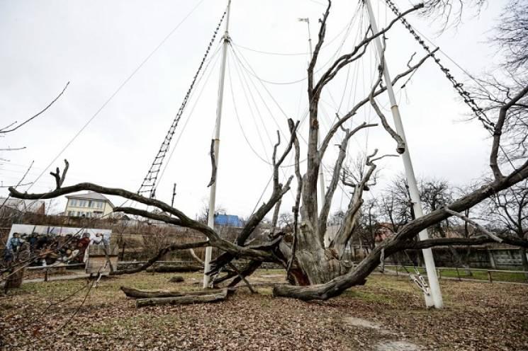 Запорізький 700-річний дуб може втратити статус пам'ятки