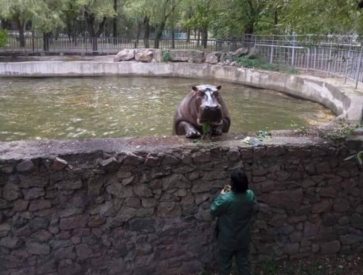 Бегемотиха из николаевского зоопарка научилась подтягиваться на бордюре бассейна (ФОТО)
